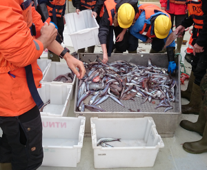 Studies of diversity of fish from the trawl catch. Photo: Torkild Bakken.