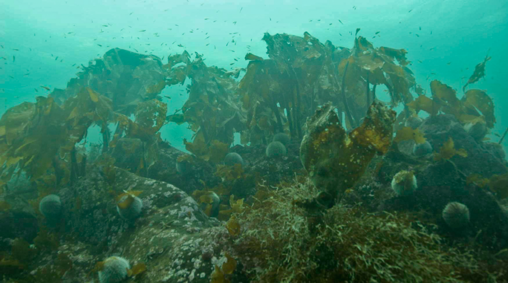 Kelp forest from a study site at Hitra with Laminaria hyperborea and Saccorhiza polyschides.  Photo: Geir Johnsen.